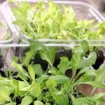 Ideas for Growing Lettuce Indoors