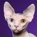 America's Favorite Cat Breeds