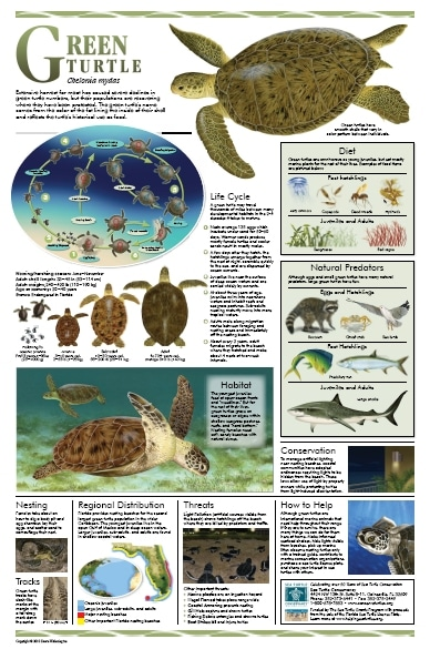 Free Florida Sea Turtle Life History Posters (Florida Residents Only)