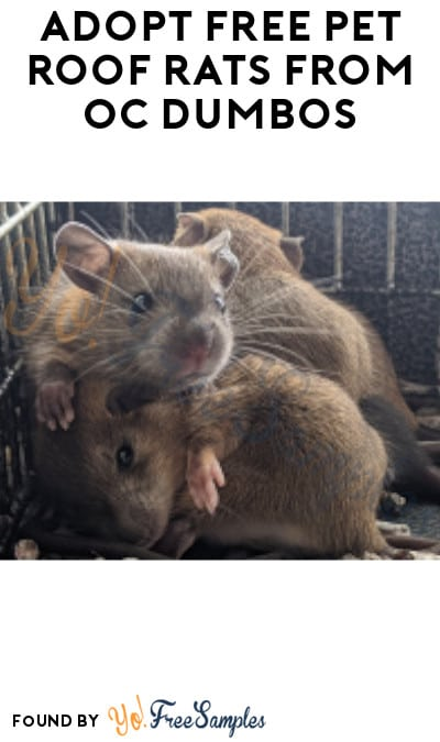Adopt FREE Pet Roof Rats from OC Dumbos in Florida (Very Limited + Must Register)